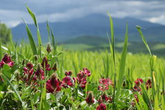 Grass and flowers on a background of mountains Royalty Free Stock Photos