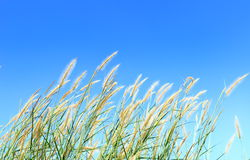 Grass flowers and blue sky. Nature background with  grass flowers and blue sky Royalty Free Stock Photography