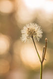 Grass flowers, bokeh background, evening sunset Stock Images