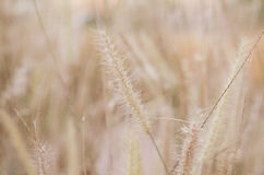 Grass flowers Royalty Free Stock Photography