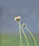 Grass flowers in the field Royalty Free Stock Image