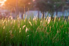 Grass flowers field in the morning with natural sunlight. Beautiful nature landscape royalty free stock photography