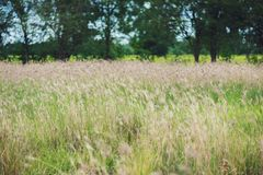 Grass flowers in the grass field in the sunlight background Royalty Free Stock Photography