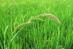 Grass Flowers in green rice field in thailand Royalty Free Stock Photography