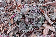 Grass, flowers and leaves oak, chestnut, walnut covered with morning frost close up.  Royalty Free Stock Image