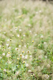 Grass flowers Royalty Free Stock Photos