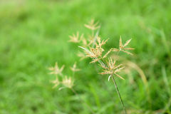 Grass flowers Stock Photo