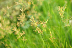 Grass flowers Stock Photo