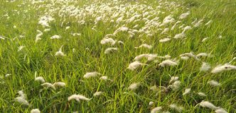 Grass flowers is playing stock images