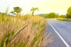 Grass flowers beside the road on sunshine Stock Images