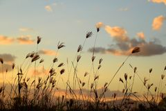 Grass flowers with sky and clouds. Grass flowers with sky and clouds after sunset in the evening Royalty Free Stock Photo