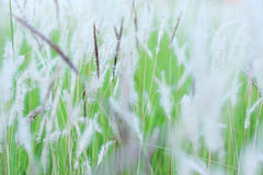 Grass flowers, soft and blur Stock Photo