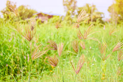 Grass flowers. Sun shining to grass flowers with the green background stock image