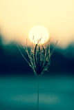 Grass Flowers with Sunset Royalty Free Stock Photography