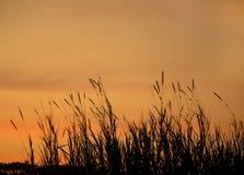 Grass flowers sunset Stock Image
