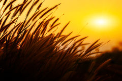 Grass flowers in sunset Stock Images