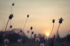 Grass flowers in the sunset, vintage filter effect Royalty Free Stock Photos