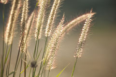 Grass flowers under the sunlight Royalty Free Stock Photography