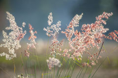 Grass flowers under the sunlight Royalty Free Stock Photo