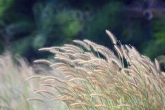 Grass flowers in the wind Stock Image
