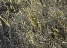 Grass with fluffy golden panicles royalty free stock photos