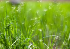 Grass with flying dandelion seeds Stock Photography