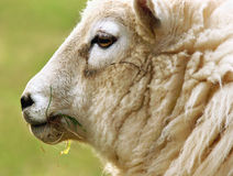 Grass Food. The head of a Welsh mountain sheep eating grass Stock Photography