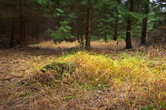 Grass in forest Royalty Free Stock Image