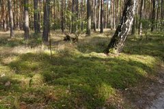 Grass in the Forest with a Birch. Green Grass in the Forest Royalty Free Stock Photography