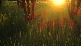 Grass in the forest during sunset or sunrise, sunlight breaking through green trees stock video footage