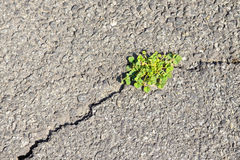 Grass on fracture of asphalt. Stock Photo