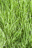 Grass Fresh Background close up Royalty Free Stock Image