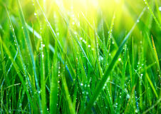 Grass. Fresh green grass with dew drops closeup Stock Images