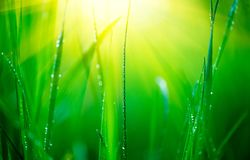Grass. Fresh green spring grass with dew drops closeup. Soft focus. Abstract nature background Royalty Free Stock Photos