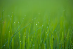 Grass. Fresh green spring grass with dew drops closeup.Soft Focus Stock Photography
