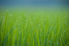 Grass. Fresh green spring grass with dew drops closeup.Soft Focus Royalty Free Stock Photography