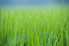 Grass. Fresh green spring grass with dew drops closeup.Soft Focus Royalty Free Stock Photo