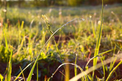 Grass. Fresh green spring grass with dew drops closeup. Royalty Free Stock Photo