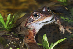 Grass frog Stock Images
