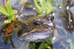 Grass frog Stock Photo