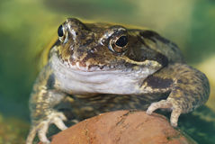 Grass frog Royalty Free Stock Photos
