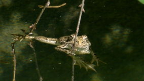Grass frog in pond. Grass frog in the pond with water reflections stock video footage