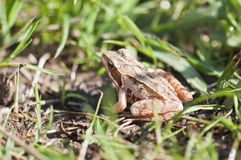 Grass frog - Rana temporaria Stock Image