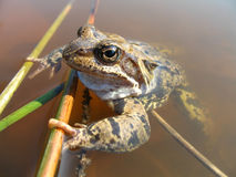 Grass frog (Rana temporaria). Into water of pond Royalty Free Stock Photo