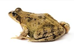 Grass frog Rana temporary isolated on shite royalty free stock image