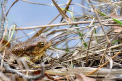 Green river frog sitting on a dry grass. Grass frog sitting on a forest surface with dry leaves royalty free stock photos