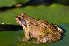 Grass frog Stock Photography