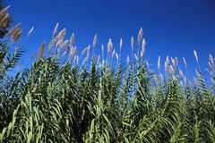 Grass fronds against blue skies royalty free stock photos