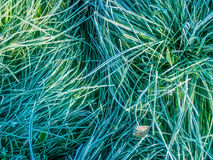 Grass; frozen grass; Royalty Free Stock Image