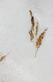 Grass frozen in the ice on the lake. Isolated branch cane (Phragmites) grass frozen in the ice on the lake stock image